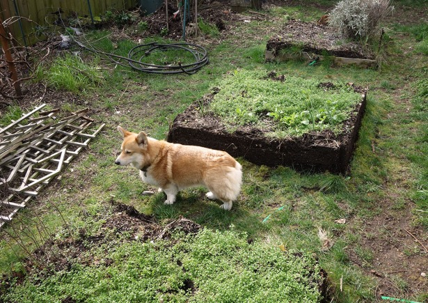 The dog approves of removing the old garden boxes